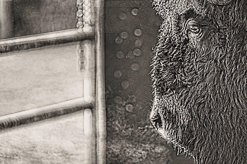 This is an image of a bison inside a paddock, looking out into the world beyond the gate. I love this image because I think he looks contemplative, which is a good, gentle state of Being instead of Doing, an important aspect of living Gifted. We work with this concept as a basis for the work with Authentic Way Coaching.