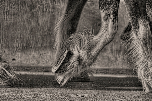 """An image of cruising along in the flow, being on the right path, and stepping out. Well-paced, spiffy, and ready to show off their glory, the draft horses in the image are from the National Western Stock Show in Denver. This photo really embodies being in """"the zone."""" Authentic Way Coaching for the Gifted and Creative can deliver you to your zone. A sample session is a great way to experience and understand the process."""